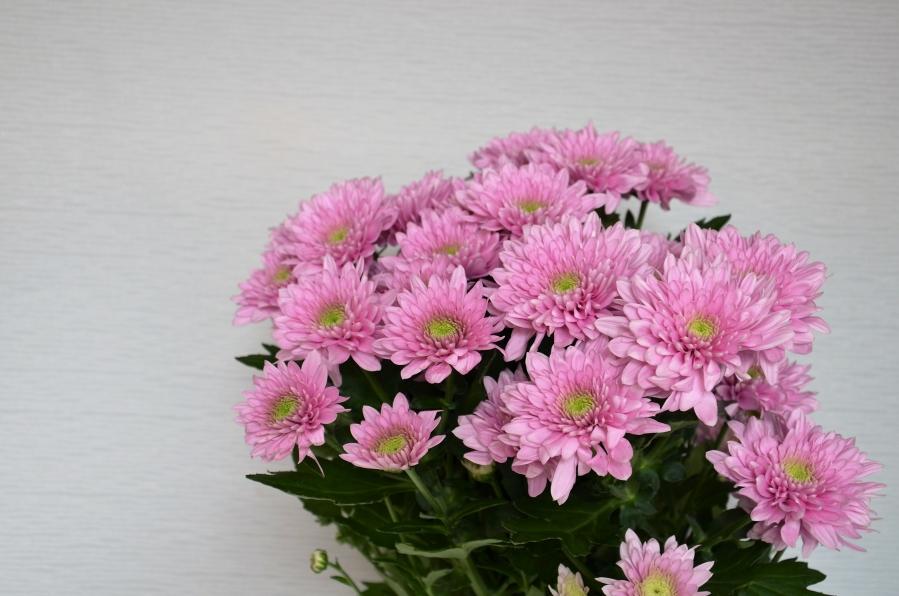 тем, хризантемы бледно розовые с белым фото зовут персонажей